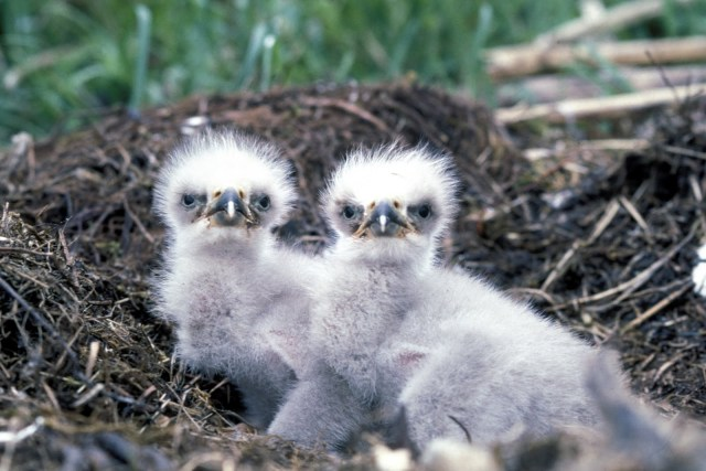 The female lays from one to three eggs and it takes about 35 days before the young hatch. After another 10 weeks the young are ready to leave the nest. Both males and females share parenting duties